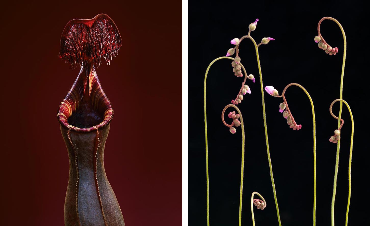 Nepenthes lowii / Droseras in bud